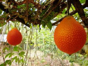 Kỹ thuật trồng cây Gấc