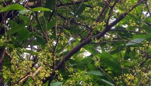 kỹ thuật trồng cây lá vối
