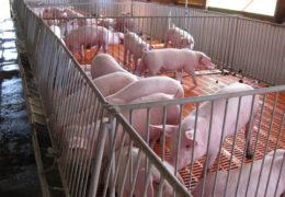 Mô hình chăn nuôi lợn đặt năng suất cao theo mô hình khép kín