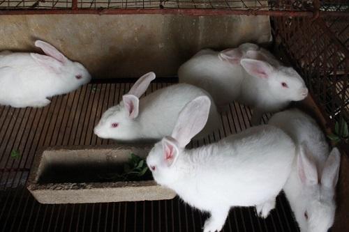 Mô hình nuôi thỏ ngoại