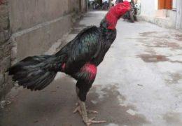 Mách bạn kỹ thuật nuôi gà chọi sung sức nhất