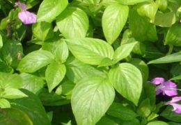 Chia sẻ cách trồng cây Lá cẩm tại nhà