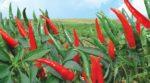 Kỹ thuật trồng ớt và cách phòng trừ sâu bệnh hại