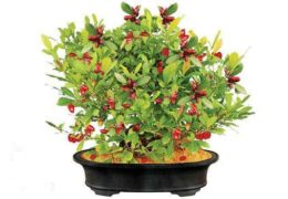 Chia sẻ cách trồng cây Thần kỳ nhanh ra trái