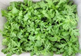 Hướng dẫn cách trồng rau cải cúc tại nhà