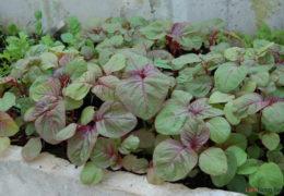 2 cách trồng rau dền tại nhà ăn quanh năm