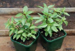 Hướng dẫn cách trồng rau húng quế