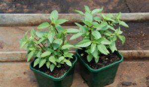 cách trồng rau húng quế