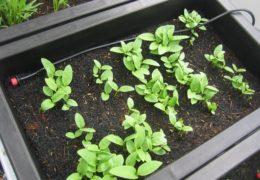 Chia sẻ cách trồng rau mồng tơi tại nhà