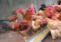 Kỹ thuật chăn nuôi gà đạt năng suất cao