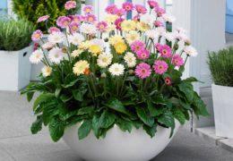 Cách trồng hoa cúc trong chậu tại nhà
