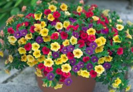 Cách trồng hoa dừa cạn cho hoa ra nhiều màu