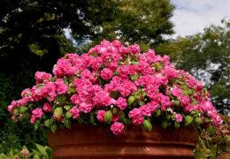 Cách trồng hoa ngọc thảo được đẹp lâu
