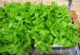 Cách trồng rau xà lách tươi sạch ngay tại nhà