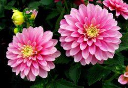 Cách trồng hoa thược dược và cách chăm sóc