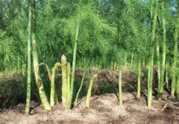 Hướng dẫn chi tiết kỹ thuật trồng măng tây xanh cho năng xuất cao