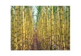 Kỹ thuật trồng cây mía đạt năng xuất cao