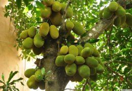 Kinh nghiệm trồng và chăm sóc cây mít Thái nhanh ra trái