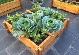 Kỹ thuật trồng rau bắp cải đơn giản, xanh tươi