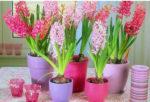 Chi tiết hướng dẫn cách trồng hoa tiên ông