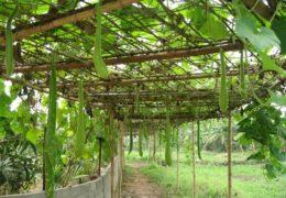 Cách trồng cây bầu cho năng suất cao