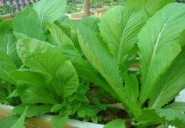 Cách trồng cải bệ xanh trong thùng xốp tại nhà