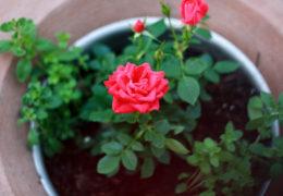 Cách trồng hoa hồng bằng hạt ra hoa cực nhanh