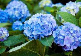 Cách trồng hoa tú cầu rực rỡ trong vườn nhà