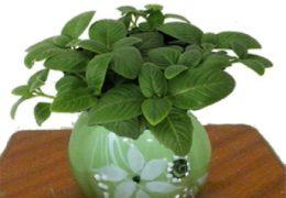 Chia sẻ cách trồng cây Quế vị