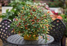 Cách trồng cây ớt trong chậu tại nhà hiệu quả