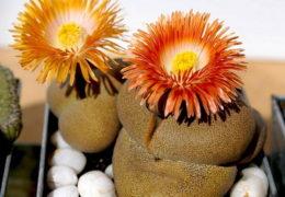 Cách trồng hoa thạch lan trang trí bàn làm việc