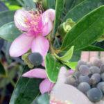 Công dụng của cây Sim và cách tận dụng cây làm thuốc