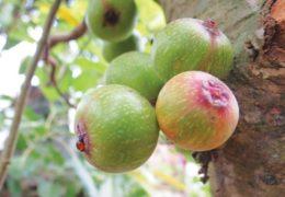 Công dụng của cây sung đối với sức khỏe người dùng