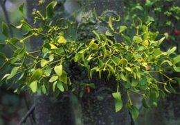 Công dụng của cây Tầm gửi là gì?