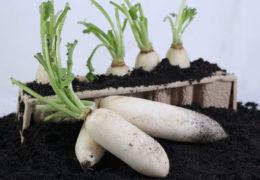 Kỹ thuật trồng củ cải trắng đạt năng suất cao