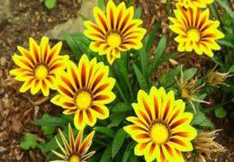 Cách chăm sóc hoa cúc đơn giản