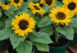 Cách trồng hoa hướng dương trong chậu