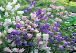 Cách trồng hoa chuông ra nhiều hoa