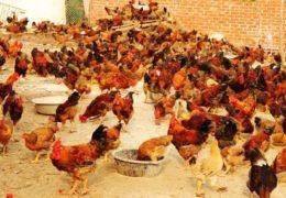 Kỹ thuật chăn nuôi gà thịt đạt hiệu quả cao