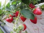 Hướng dẫn cách trồng dâu tây tại nhà