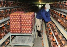 Chăn nuôi gà đẻ trứng như thế nào là tốt?