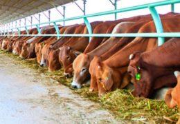Mô hình chăn nuôi bò đạt hiệu quả kinh tế cao