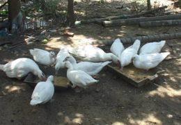 Chăn nuôi vịt xiêm thả vườn hiệu quả