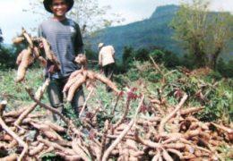 Hướng dẫn kỹ thuật trồng khoai mì đạt hiệu quả cao