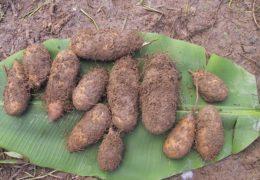 Cách trồng và chăm sóc khoai từ