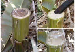 Bài thuốc cây chuối hột chữa bệnh tiểu đường