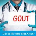 Thực hư việc cây lá lốt chữa bệnh Gout