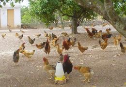 Mô hình chăn nuôi gà thả vườn