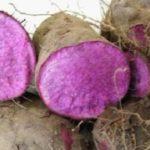 Kỹ thuật trồng và chăm sóc khoai mỡ