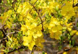 Cách trồng và chăm sóc hoa mai vàng đúng kỹ thuật